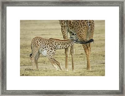 Kenya, Lake Naivasha Framed Print