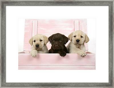 Labrador Retriever Puppies Framed Print by John Daniels