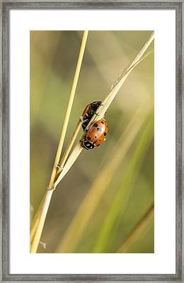 2 Ladybugs Crawling Framed Print by Jean Noren