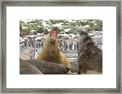 Large Bull Southern Elephant Seal Framed Print by Ashley Cooper