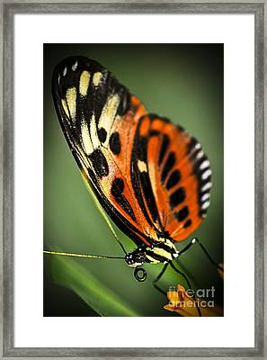 Large Tiger Butterfly Framed Print