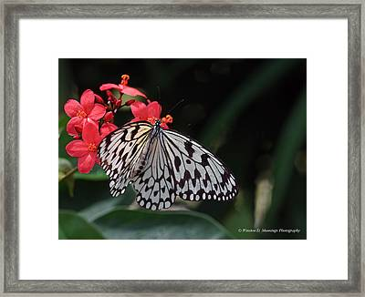 Large Tree Nymph Butterfly Framed Print