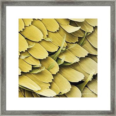 Large White Butterfly Scent Scales, Sem Framed Print by Power and Syred