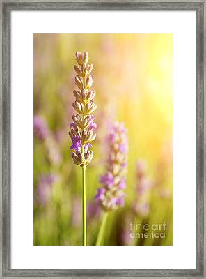 Lavender Flowers Framed Print by Carlos Caetano