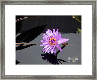 Lavender Lily Framed Print by Eric  Schiabor