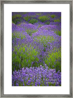 Lavender Study Framed Print
