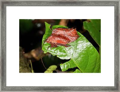 Leaf Mimic Katydid Framed Print by Dr Morley Read