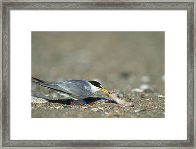 Least Tern Framed Print