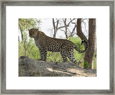 Leopard Panthera Pardus On Termite Framed Print by Panoramic Images