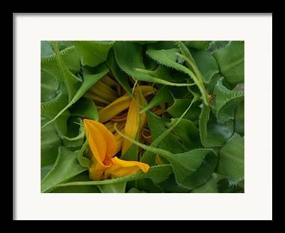 Waking Up Sunflowers Framed Prints