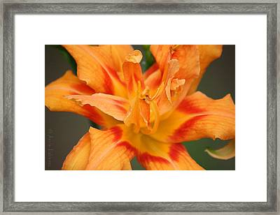 Lily Framed Print by Anne Babineau