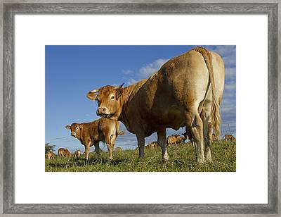 Limousin Cattle Framed Print by Jean-Michel Labat