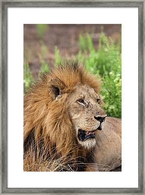 Lion (panthera Leo Framed Print by Martin Zwick