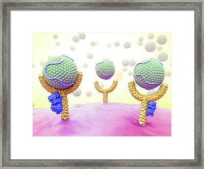 Lipoproteins And Pcsk9 Bound To Receptors Framed Print by Maurizio De Angelis