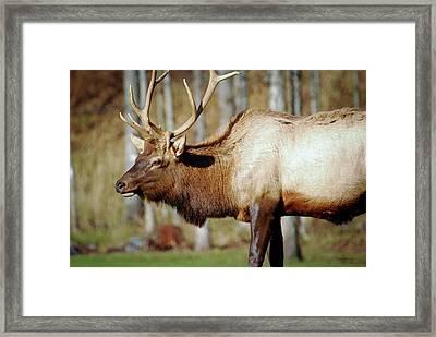 Male Elk Framed Print by Crystal Wightman