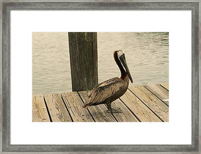 Louisiana Brown Pelican Framed Print
