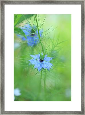 Love In A Mist Framed Print by Rebeka Dove