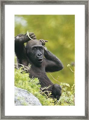 Lowland Gorilla Framed Print by Art Wolfe