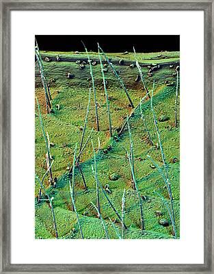 Macaranga Leaf Trichomes Framed Print by Stefan Diller