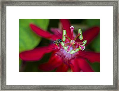 Macro Photograph Of A Bee Collecting Pollen. Framed Print