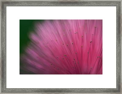 Macro Photograph Of A Calliandra Flower Framed Print