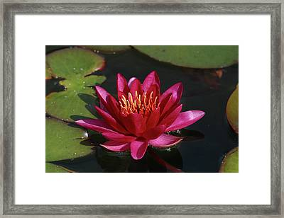 Magenta Water Lily Framed Print by Anna Miller