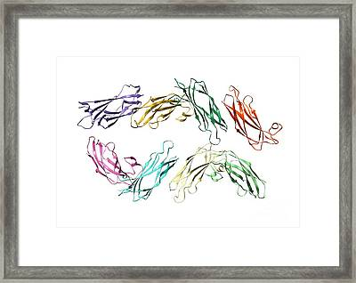 Major Sperm Protein Molecule Framed Print