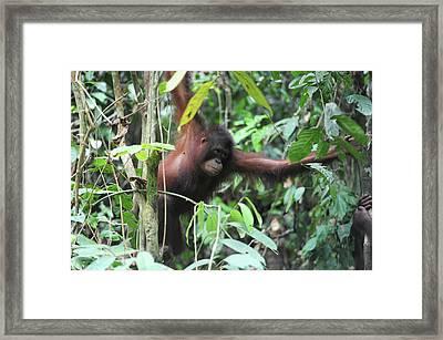 Malaysia, Borneo, Sepilok, Orangutan Framed Print