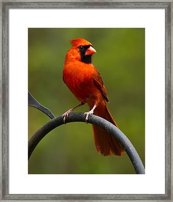 Male Cardinal Framed Print by Robert L Jackson