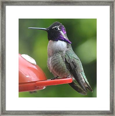 Framed Print featuring the photograph Male Costa On Perch by Jay Milo