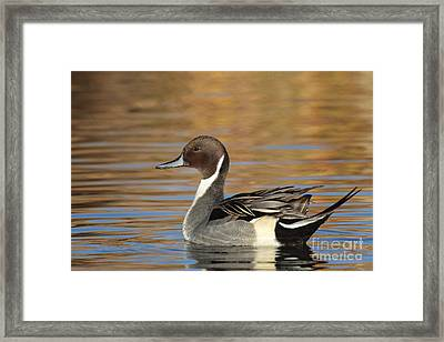 Male Pintail Framed Print by Ruth Jolly