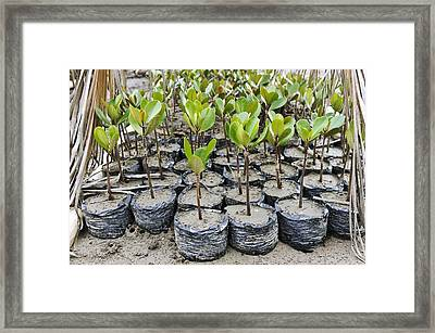 Mangrove Rehabilitation, Indonesia Framed Print by Science Photo Library