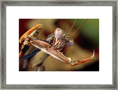 Mantis Framed Print by Tomasz Litwin