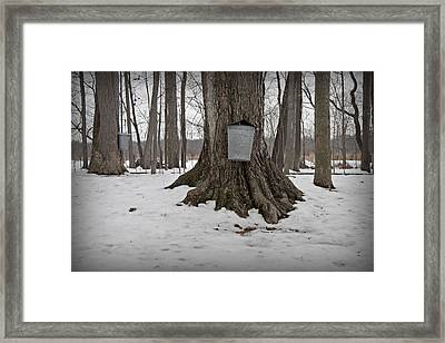 Maple Sugaring Framed Print by John Stephens