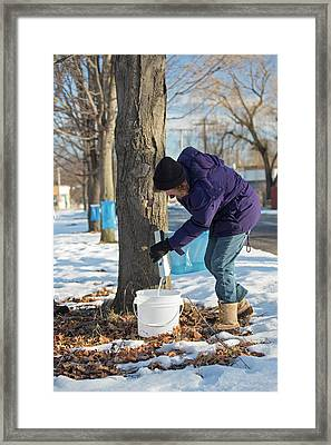 Maple Syrup Production Framed Print