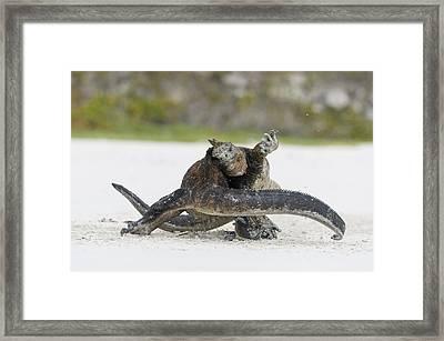 Marine Iguana Males Fighting Turtle Bay Framed Print
