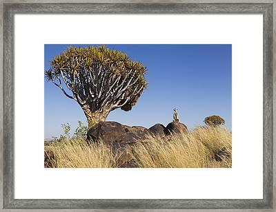 Meerkat In Quiver Tree Grassland Framed Print
