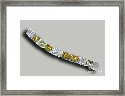 Melosira Sp Diatoms, Light Micrograph Framed Print by Frank Fox