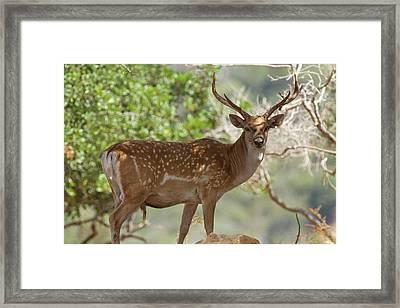 Mesopotamian Fallow Deer Framed Print