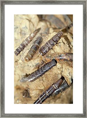 Meteorite Impact Belemnite Of Ries Crater Framed Print by Paul D Stewart