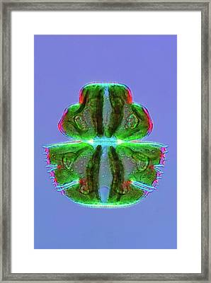 Micrasterias Desmid Framed Print