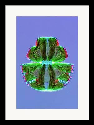 Micrasterias Framed Prints