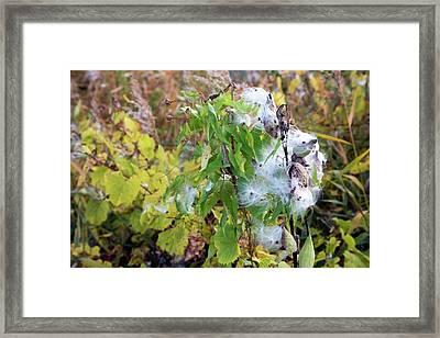 Milkweed Seed Pods Framed Print by Jim West