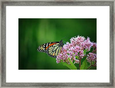 Monarch In Light  Framed Print by Neal Eslinger