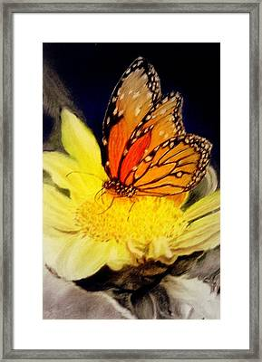 Monarch Resting Sold Pastel Framed Print by Antonia Citrino