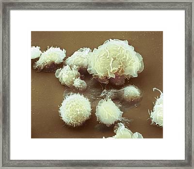 Monocyte White Blood Cells Framed Print