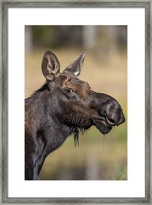 Moose In Watering Hole Framed Print by Tom Norring