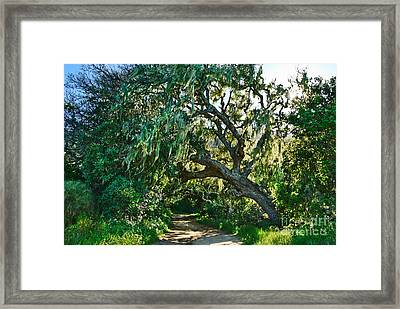 Moss Covered Tree In Garland Ranch Park In Monterey California. Framed Print