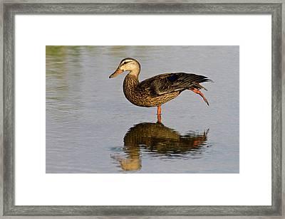 Mottled Duck (anas Fulvigula Framed Print by Larry Ditto