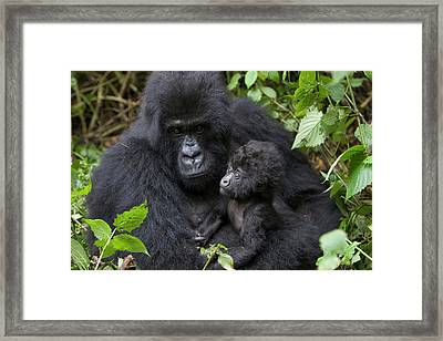 Mountain Gorilla And Infant Framed Print by Suzi Eszterhas